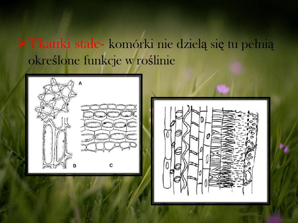 Tkanki stałe- komórki nie dzielą się tu pełnią określone funkcje w roślinie