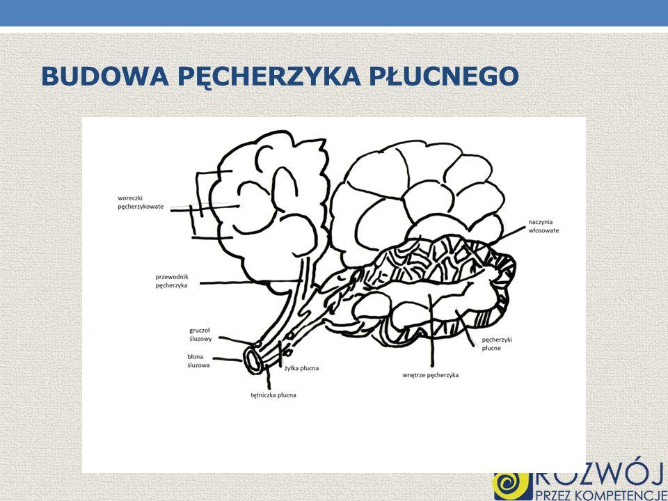 Budowa pęcherzyka płucnego