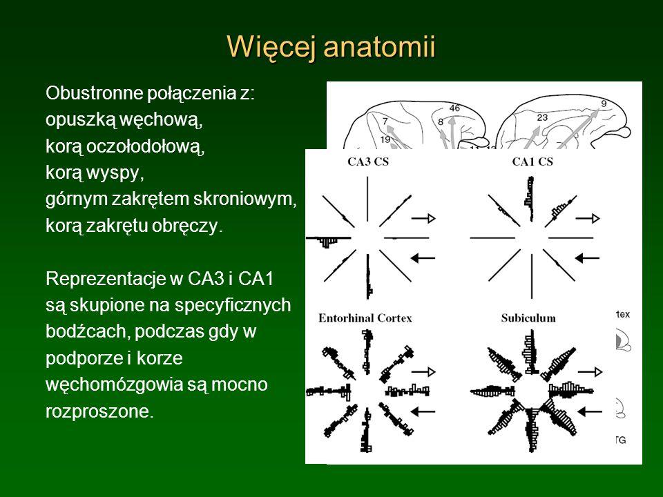 Więcej anatomii Obustronne połączenia z: opuszką węchową,