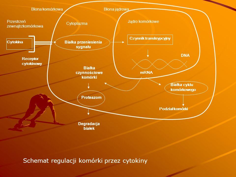 Białka przeniesienia sygnału Białka czynnościowe komórki