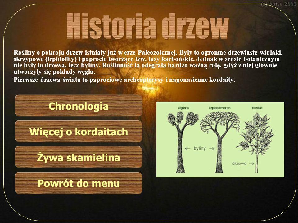 Historia drzew Chronologia Więcej o kordaitach Żywa skamielina