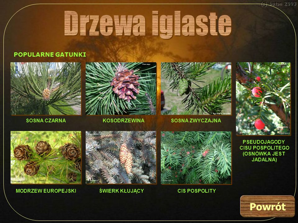 Drzewa iglaste Powrót POPULARNE GATUNKI SOSNA CZARNA KOSODRZEWINA