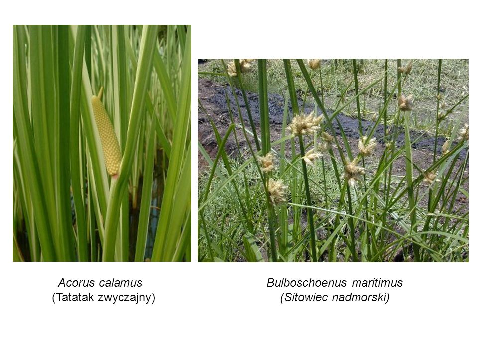 Acorus calamus (Tatatak zwyczajny) Bulboschoenus maritimus (Sitowiec nadmorski)