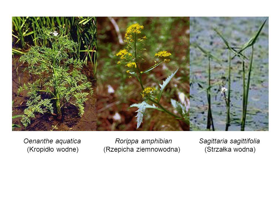 Oenanthe aquatica (Kropidło wodne) Rorippa amphibian. (Rzepicha ziemnowodna) Sagittaria sagittifolia.
