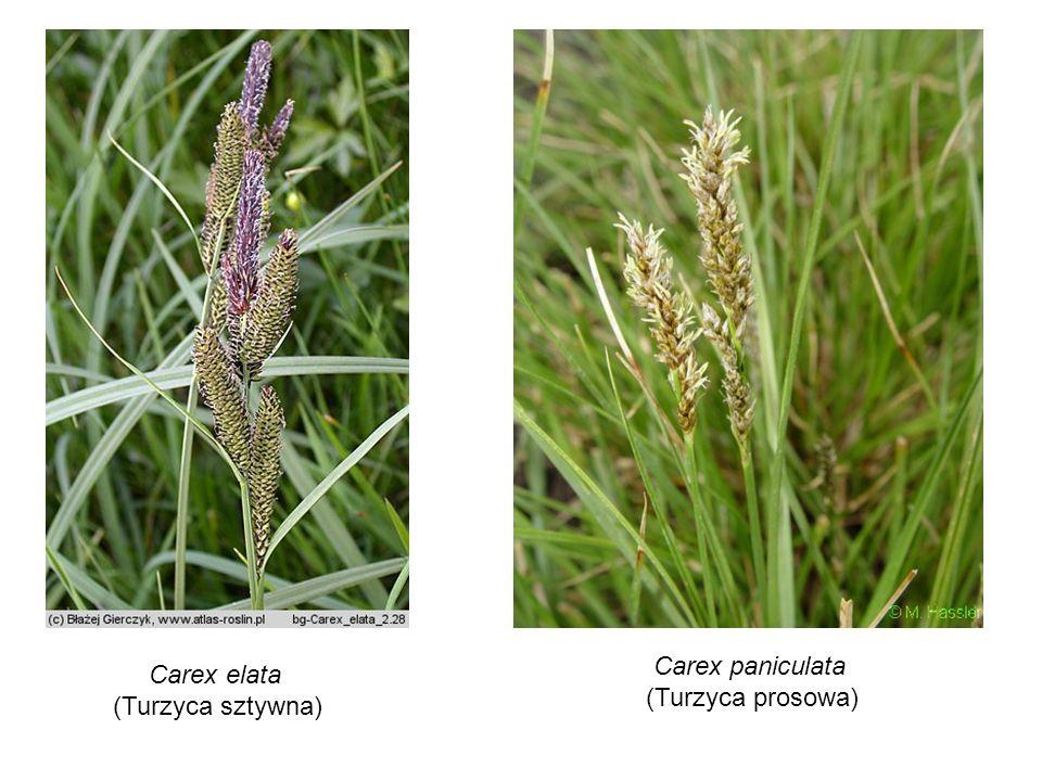 Carex paniculata (Turzyca prosowa) Carex elata (Turzyca sztywna)