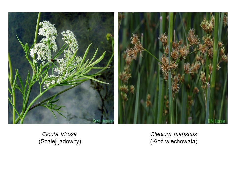 Cicuta Virosa (Szalej jadowity) Cladium mariscus (Kłoć wiechowata)