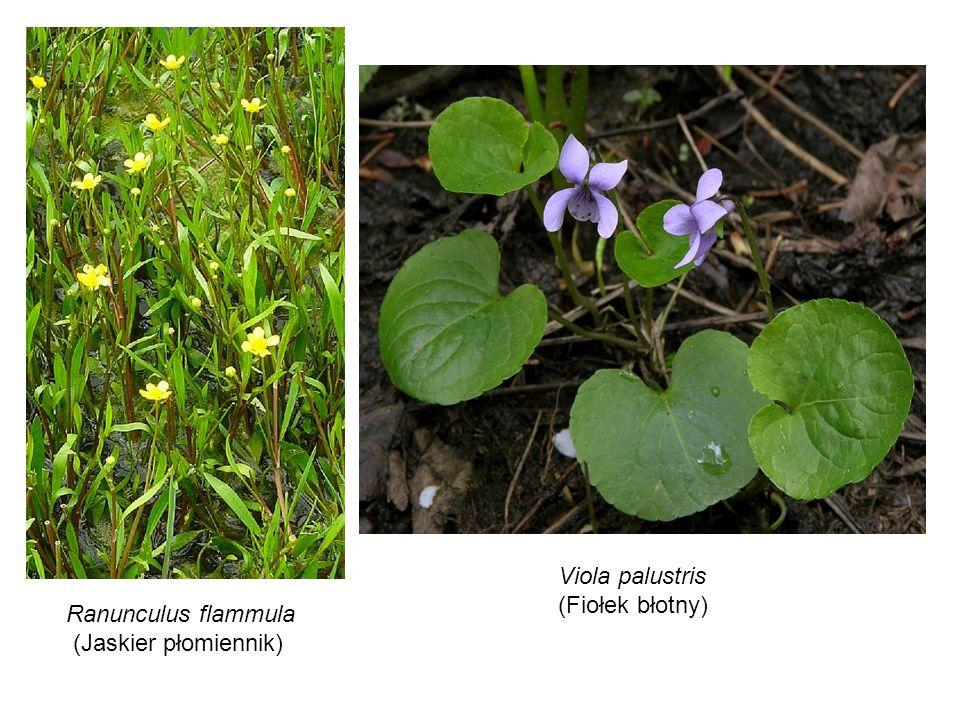 Viola palustris (Fiołek błotny) Ranunculus flammula (Jaskier płomiennik)