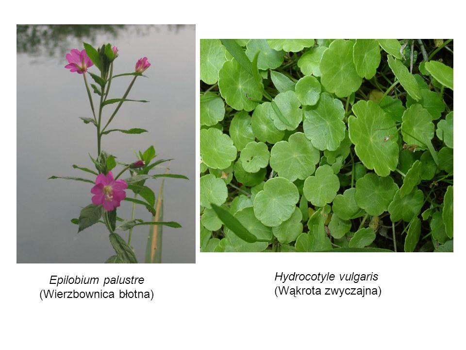 Hydrocotyle vulgaris (Wąkrota zwyczajna) Epilobium palustre (Wierzbownica błotna)