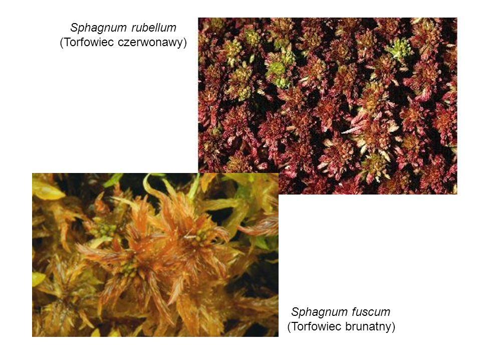 Sphagnum rubellum (Torfowiec czerwonawy) Sphagnum fuscum (Torfowiec brunatny)