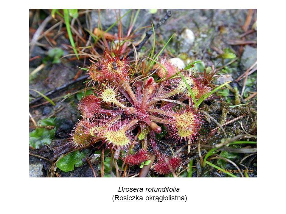 Drosera rotundifolia (Rosiczka okrągłolistna)