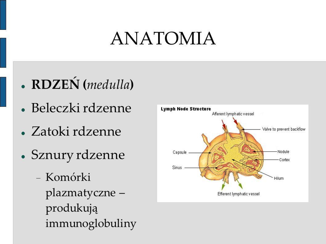 ANATOMIA RDZEŃ (medulla) Beleczki rdzenne Zatoki rdzenne
