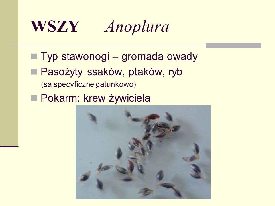 WSZY Anoplura Typ stawonogi – gromada owady