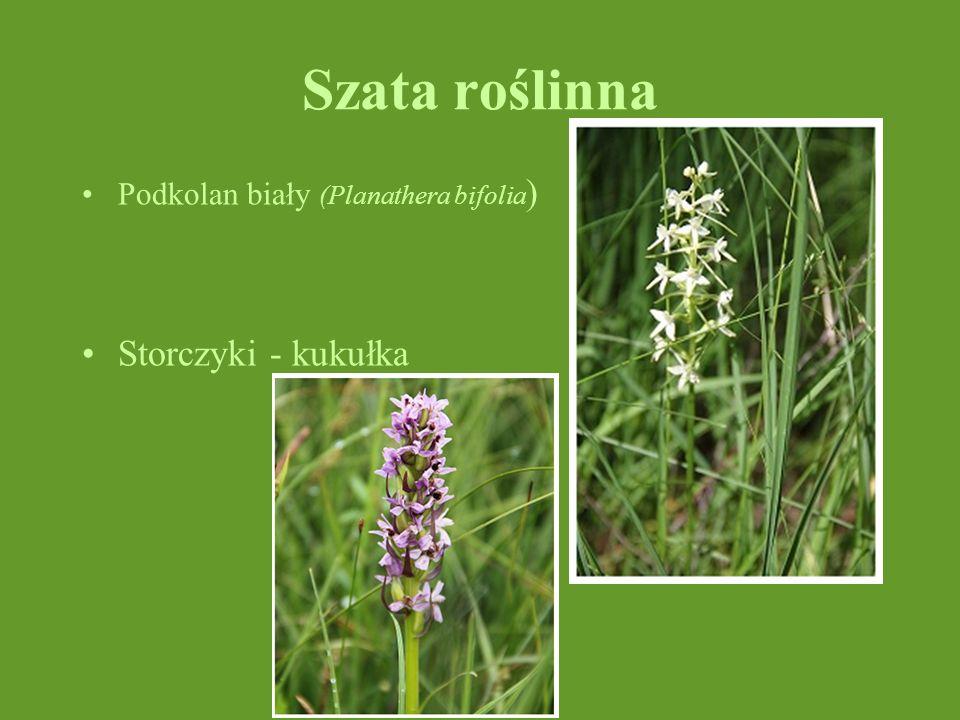 Szata roślinna Podkolan biały (Planathera bifolia) Storczyki - kukułka