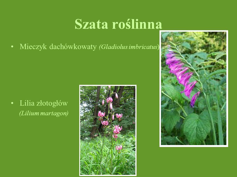 Szata roślinna Mieczyk dachówkowaty (Gladiolus imbricatus)