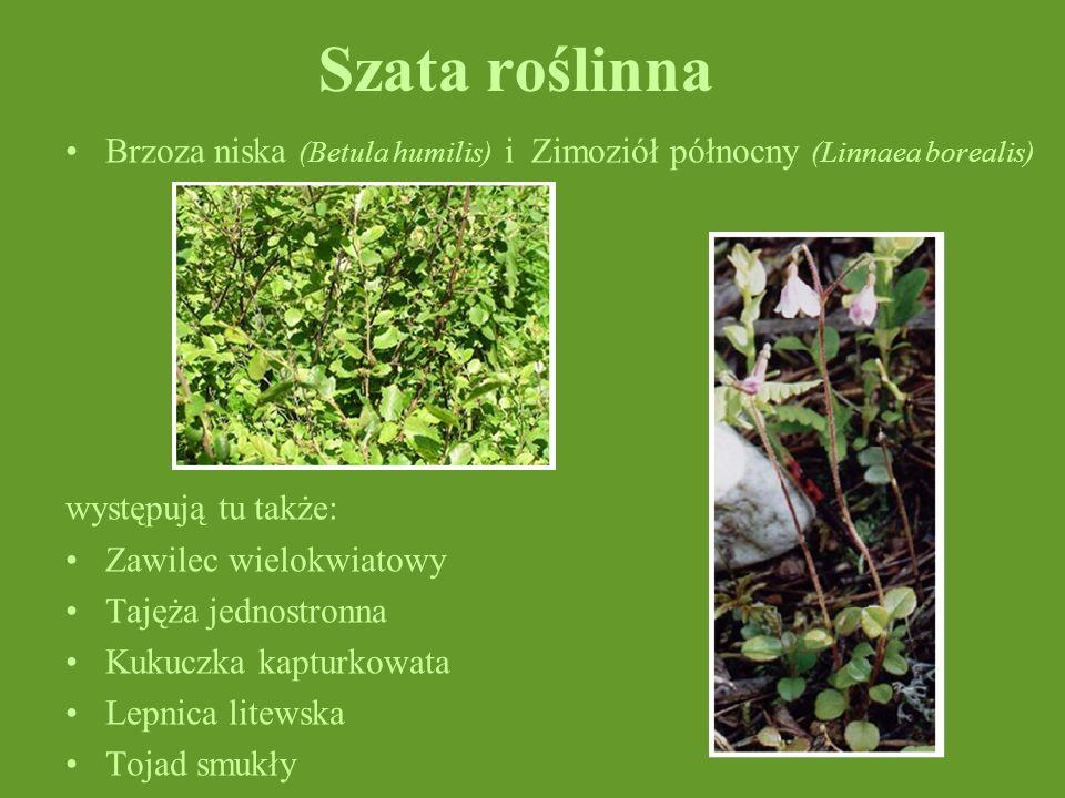 Szata roślinnaBrzoza niska (Betula humilis) i Zimoziół północny (Linnaea borealis) występują tu także: