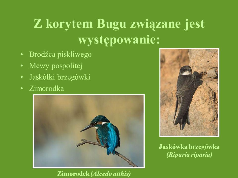 Z korytem Bugu związane jest występowanie: