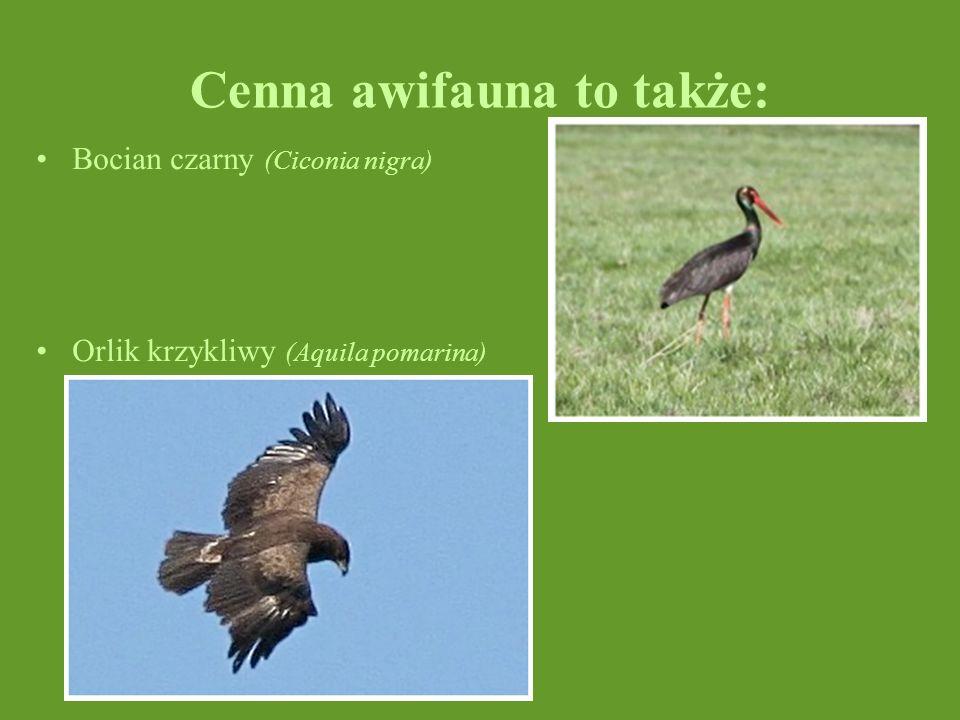 Cenna awifauna to także: