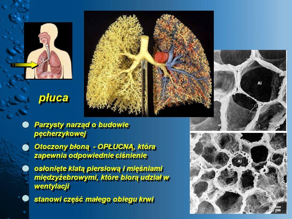 płuca Parzysty narząd o budowie pęcherzykowej