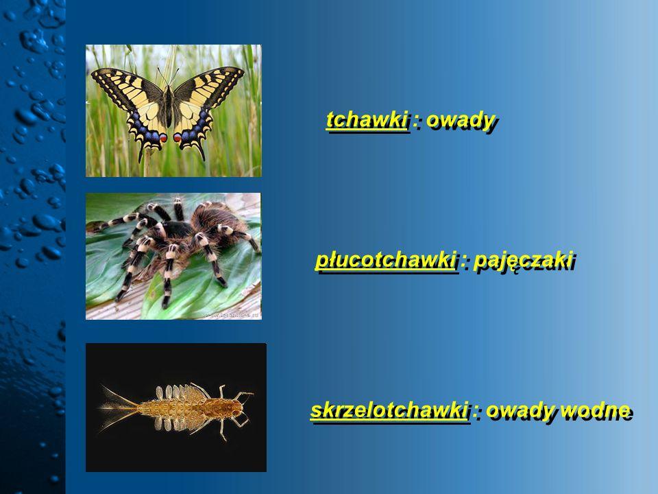 tchawki : owady płucotchawki : pajęczaki skrzelotchawki : owady wodne