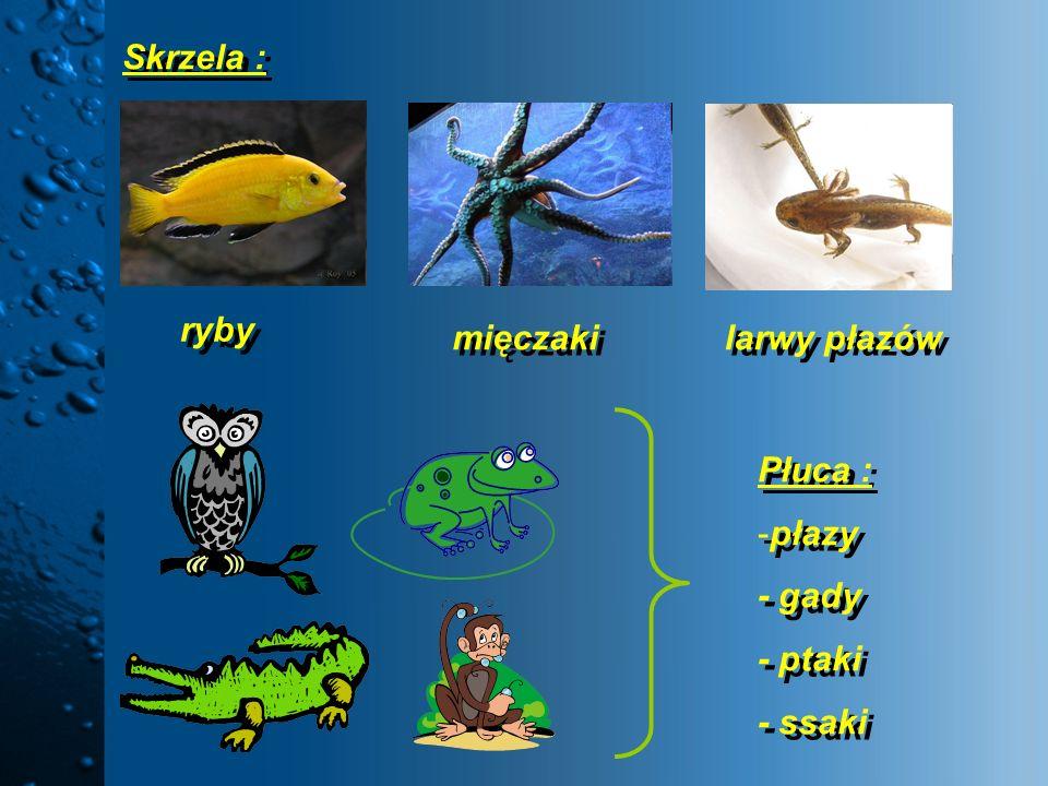 Skrzela : ryby mięczaki larwy płazów Płuca : płazy - gady - ptaki - ssaki
