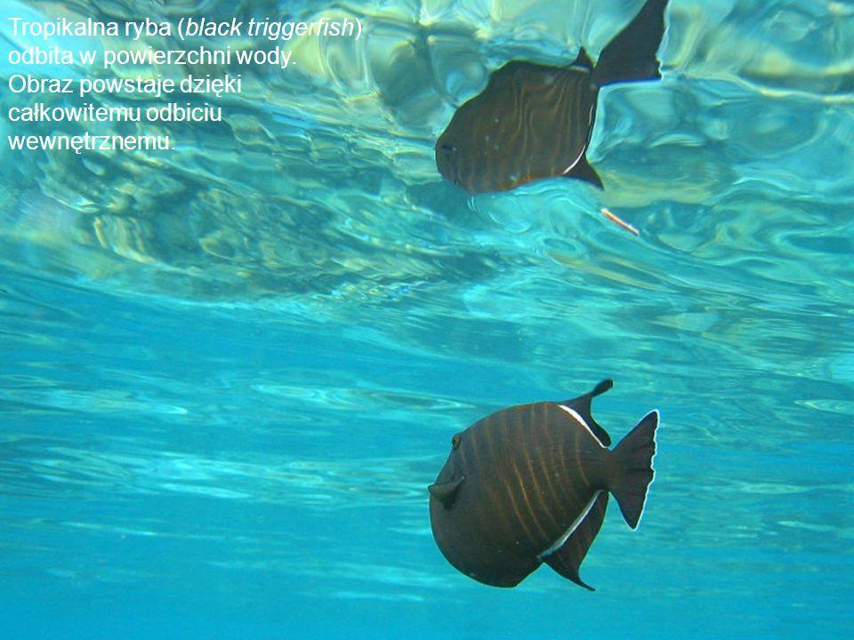 Tropikalna ryba (black triggerfish) odbita w powierzchni wody.