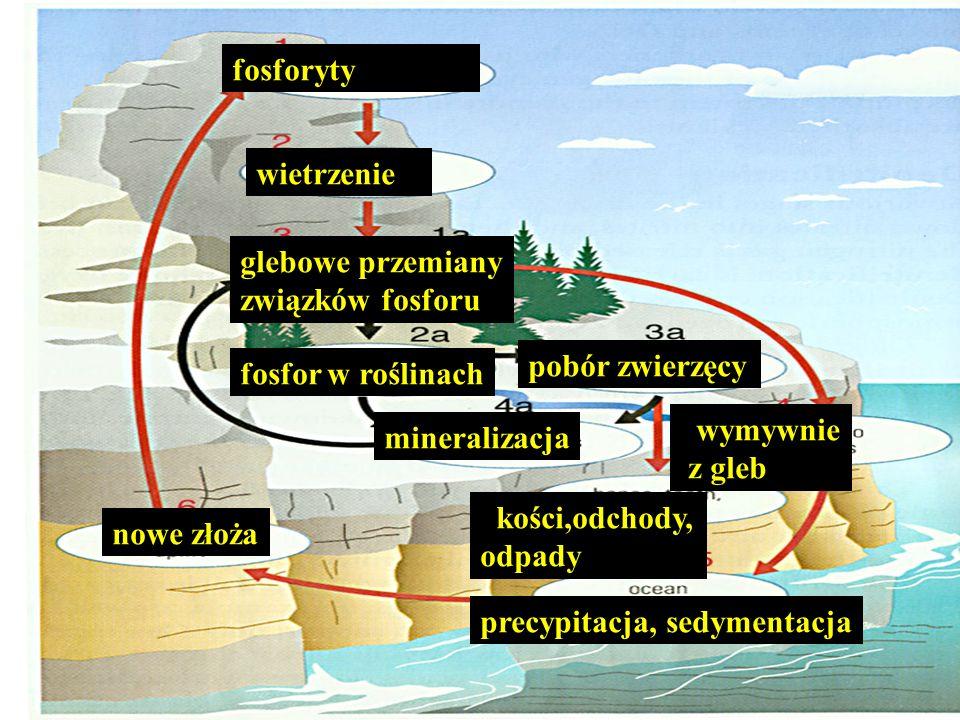 fosforytywietrzenie. glebowe przemiany. związków fosforu. pobór zwierzęcy. fosfor w roślinach. wymywnie.