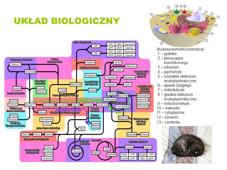 UKŁAD BIOLOGICZNY Budowa komórki zwierzęcej: 1 – jąderko;