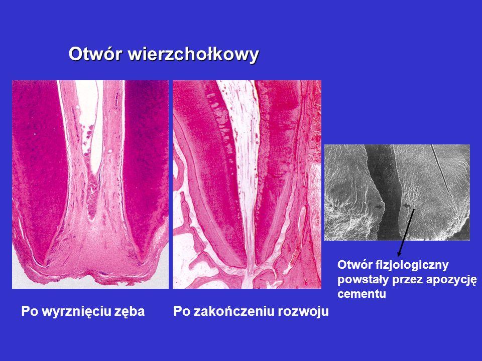 Otwór wierzchołkowy Po wyrznięciu zęba Po zakończeniu rozwoju