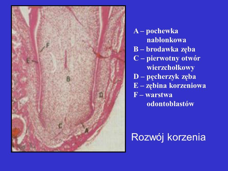 Rozwój korzenia A – pochewka nabłonkowa B – brodawka zęba