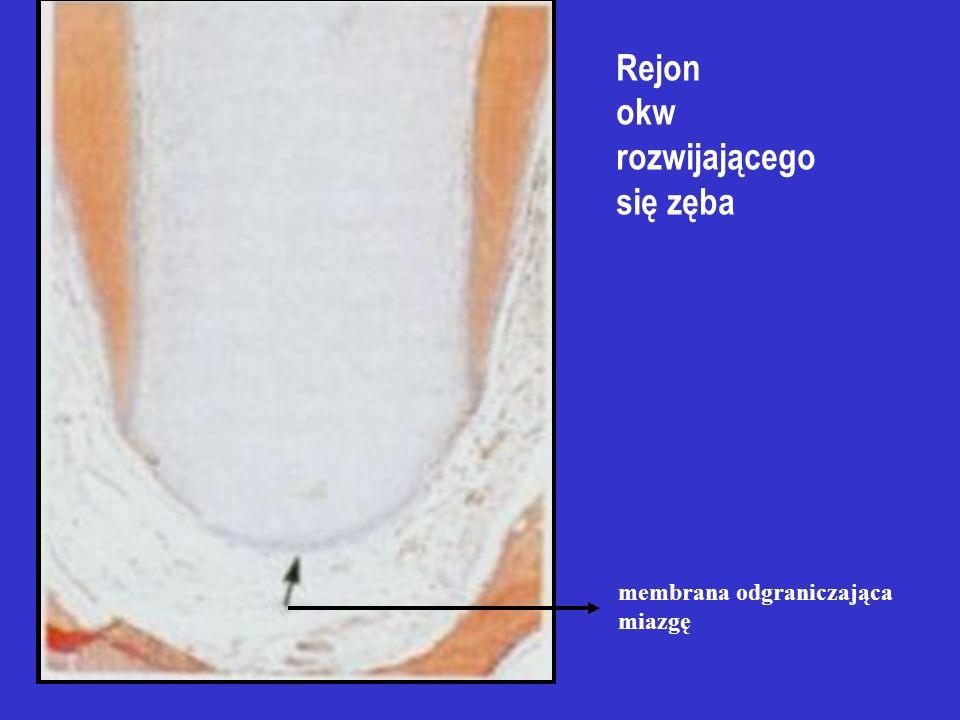 Rejon okw rozwijającego się zęba membrana odgraniczająca miazgę