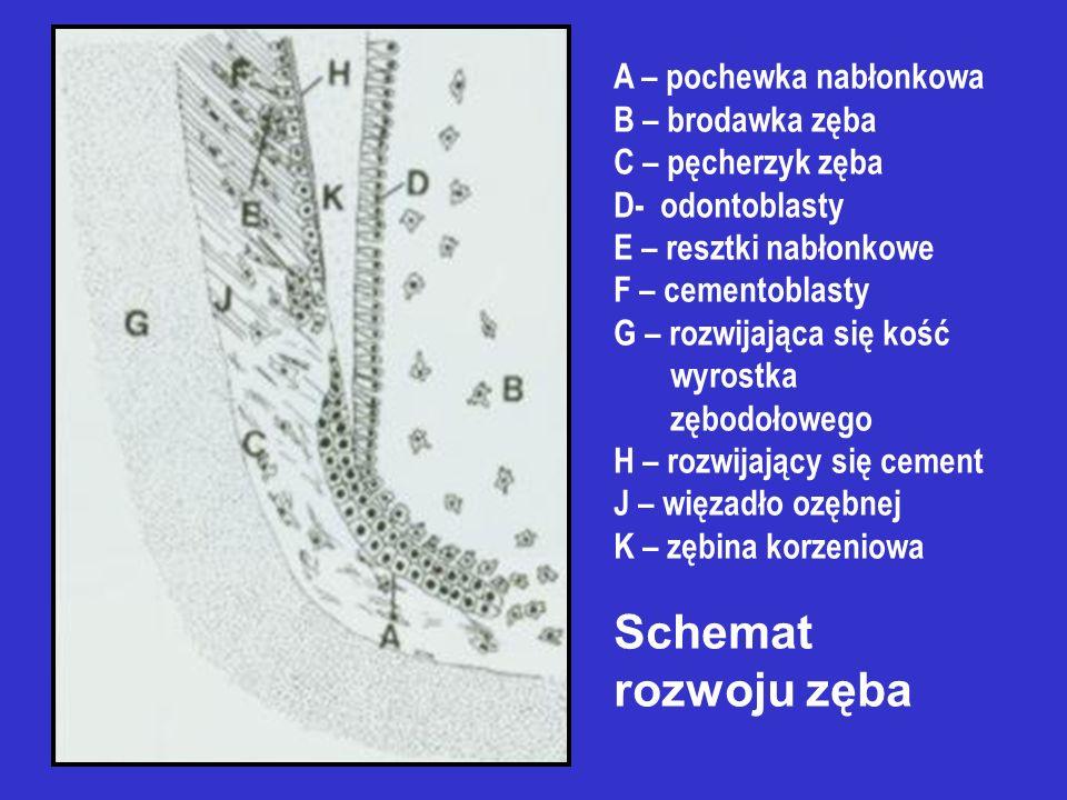 Schemat rozwoju zęba A – pochewka nabłonkowa B – brodawka zęba