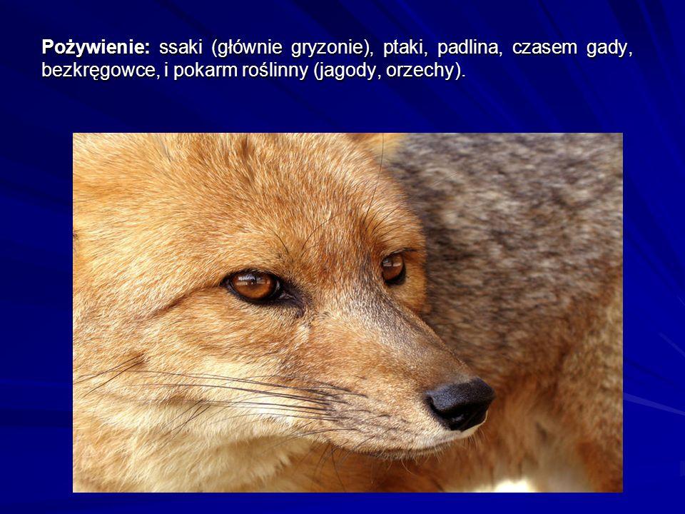 Pożywienie: ssaki (głównie gryzonie), ptaki, padlina, czasem gady, bezkręgowce, i pokarm roślinny (jagody, orzechy).