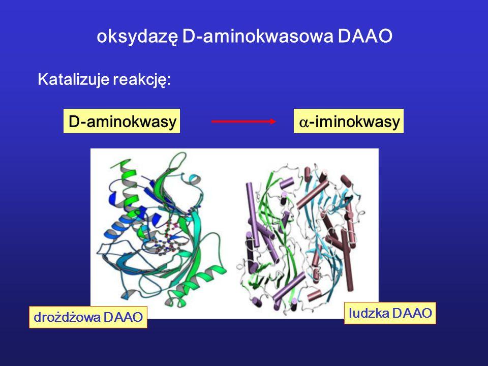 oksydazę D-aminokwasowa DAAO