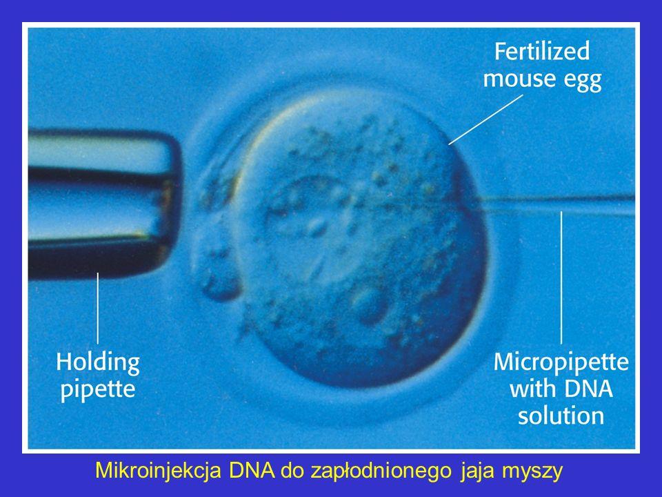 Mikroinjekcja DNA do zapłodnionego jaja myszy