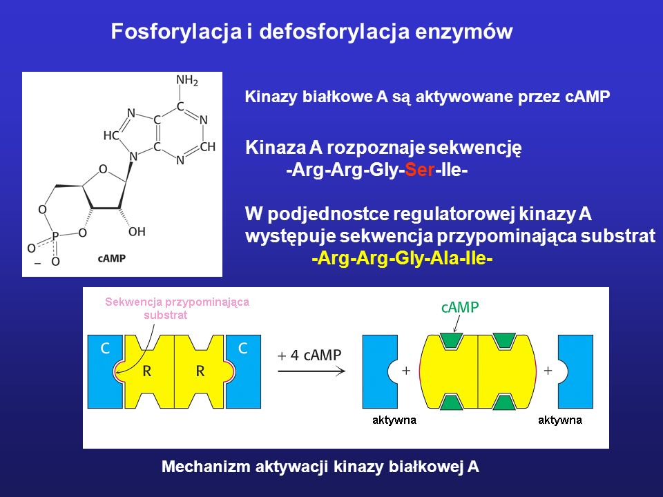 Fosforylacja i defosforylacja enzymów