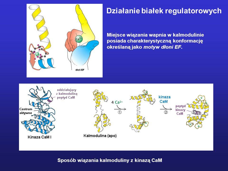 Działanie białek regulatorowych