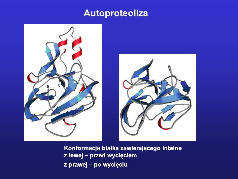 Autoproteoliza Konformacja białka zawierającego inteinę