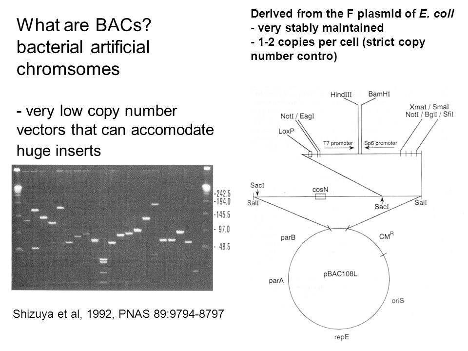 What are BACs bacterial artificial chromsomes