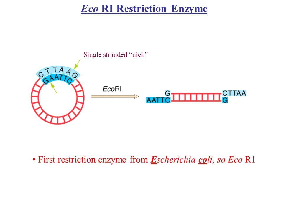 Eco RI Restriction Enzyme