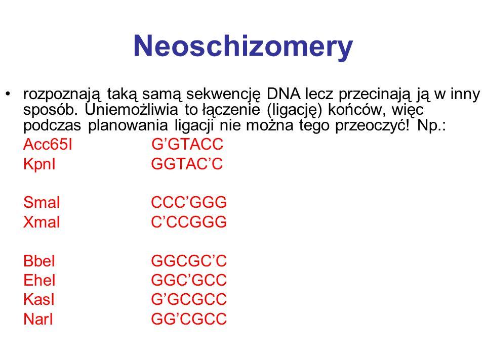 Neoschizomery