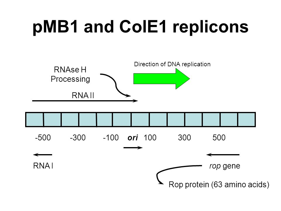 Rop protein (63 amino acids)
