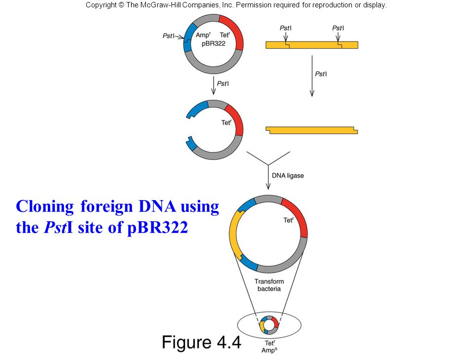 Cloning foreign DNA using the PstI site of pBR322