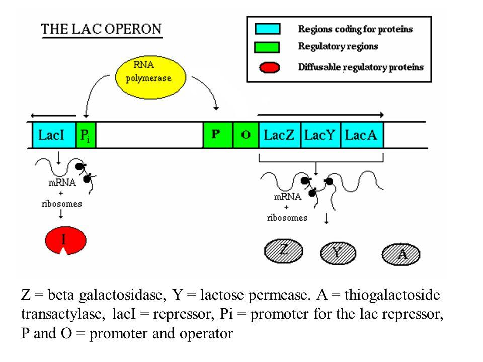 Z = beta galactosidase, Y = lactose permease