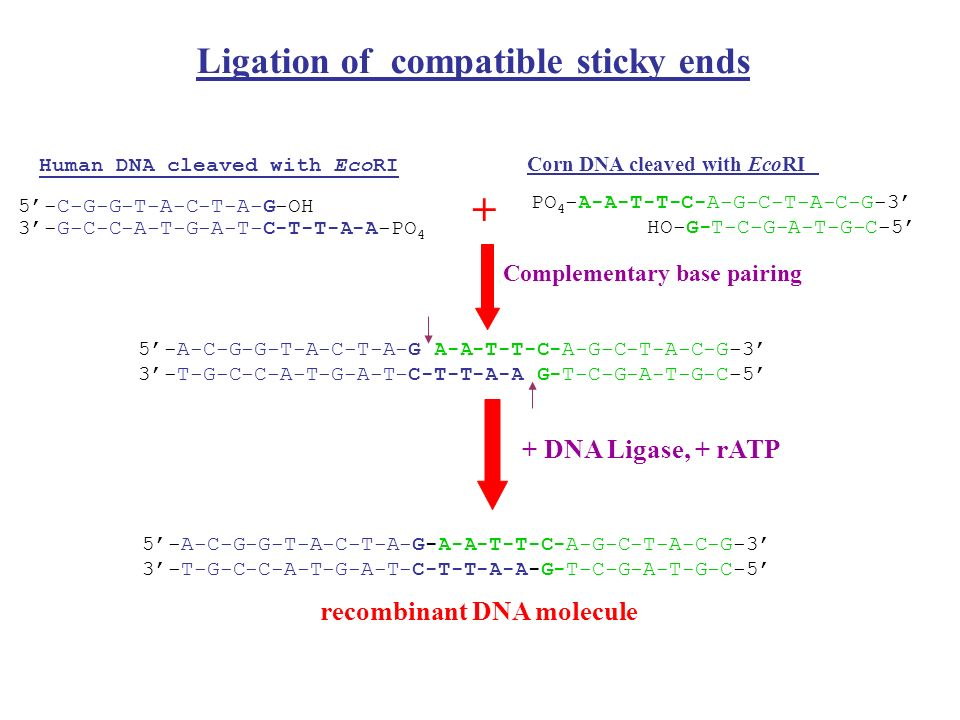 Ligation of compatible sticky ends