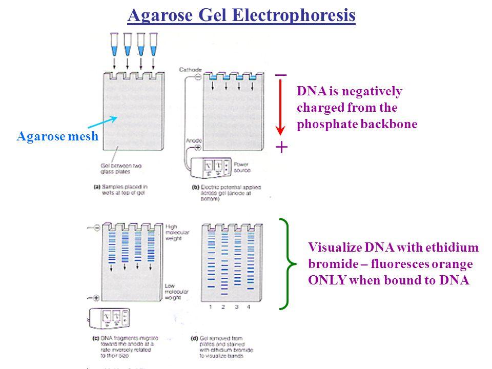 _ + Agarose Gel Electrophoresis