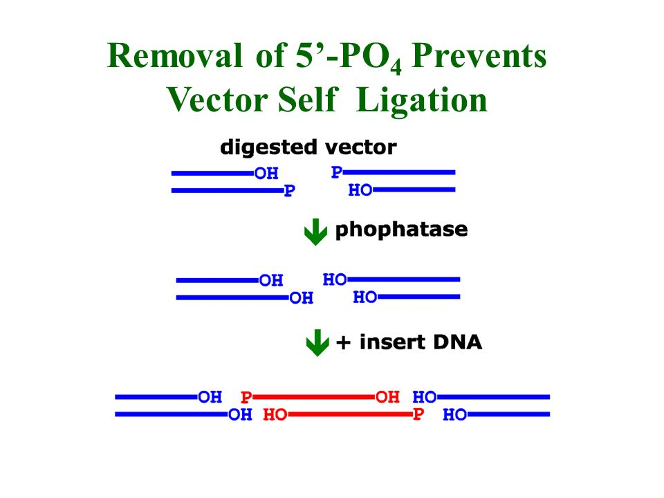 Removal of 5'-PO4 Prevents Vector Self Ligation