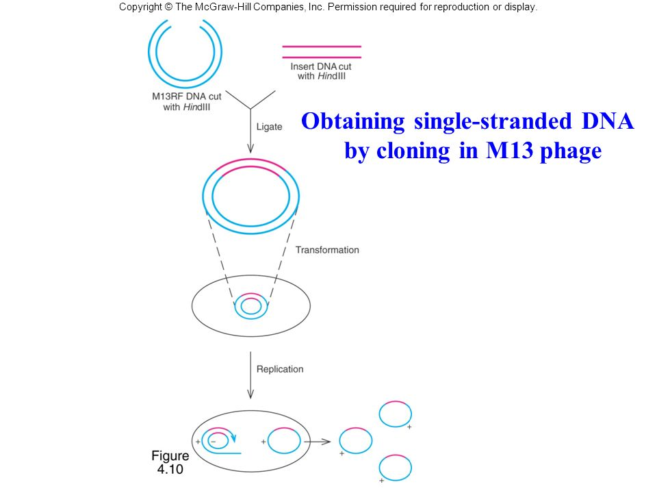 Obtaining single-stranded DNA by cloning in M13 phage