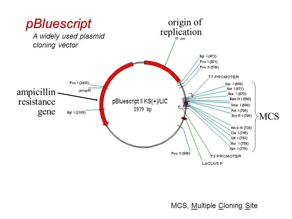 pBluescript origin of replication ampicillin resistance gene MCS