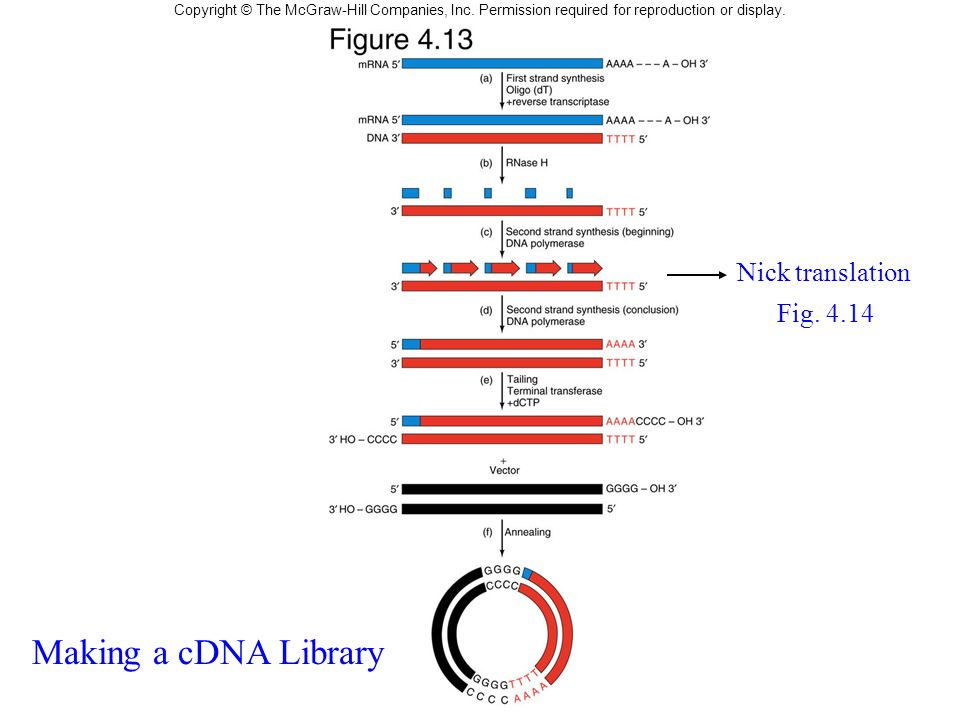 Making a cDNA Library Nick translation Fig. 4.14