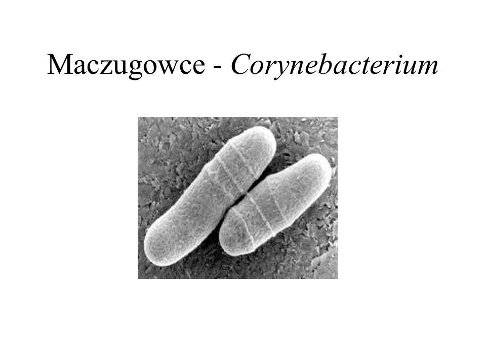 Maczugowce - Corynebacterium
